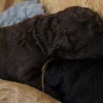 1 week labradoodle pup
