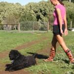 Australia, training Australian Labradoodle