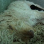 Australian Labradoodle - Fili - a great mommy