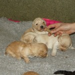 Australian Labradoodle puppies and smells
