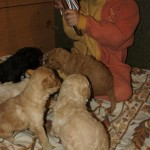 Australian Labradoodle puppies and bells