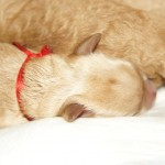 Australian Labradoodle pups