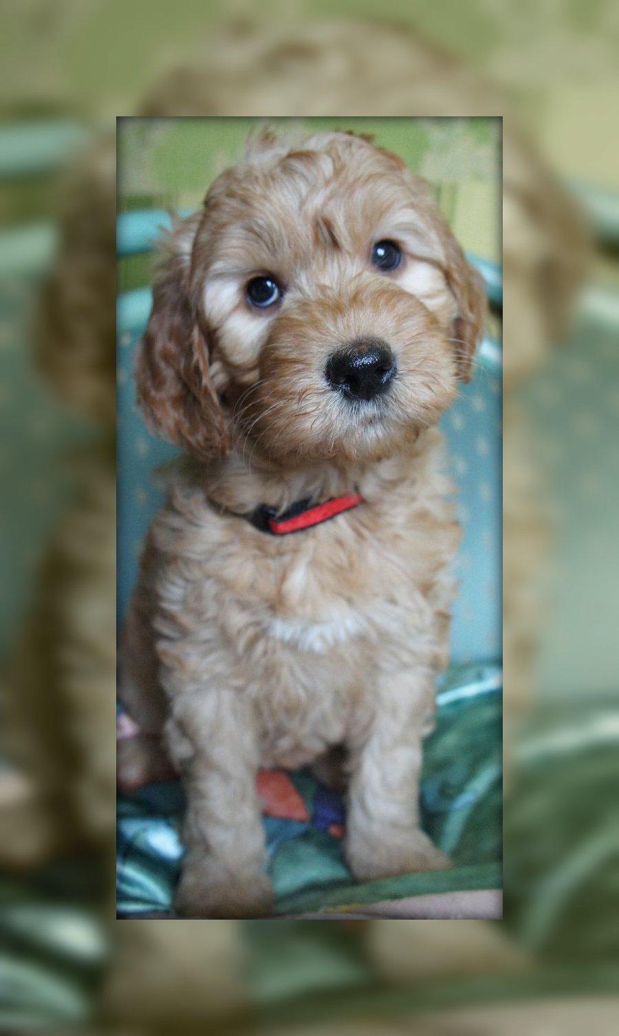 We Have Australian Labradoodle Puppies Włochata Pasja