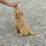 Australian Labradoodle training SIT