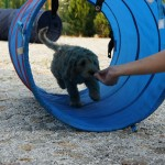 Australian Labradoodle and tunnel