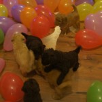 Labradoodle puppies and baloons
