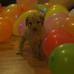 Labradoodle puppies and enriched environment