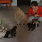 Labradoodle puppies and visitors