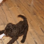 Australian Labradoodle and temperament testing