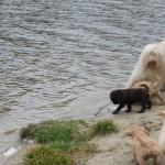 Australian labradoodle at the lake