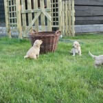 Labradoodles playing outside