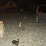 Labradoodle puppies outside at night