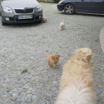 Labradoodle puppies playing outside