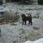 Australian Labradoodle playing outside