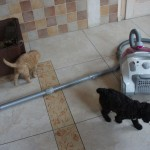 Labradoodle puppies and vacum cleaner