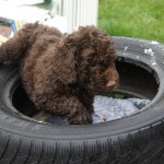 Australian Labradoodle and educational path