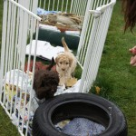 Australian Labradoodle and agility field