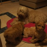 Australian Labradoodle puppies with Goddess