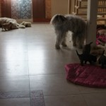 Australian Labradoodle meeting other dogs