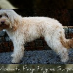 Australian Labradoodle Filigree Surprise