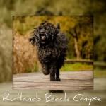 Australijski Labradoodle Rutlands Black Onyxe