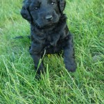 Black Labradoodle puppy