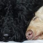 Labradoodle Caramel & Onyxe sleep