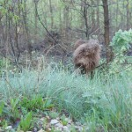 Australian Labradoodle Donnan Tracking