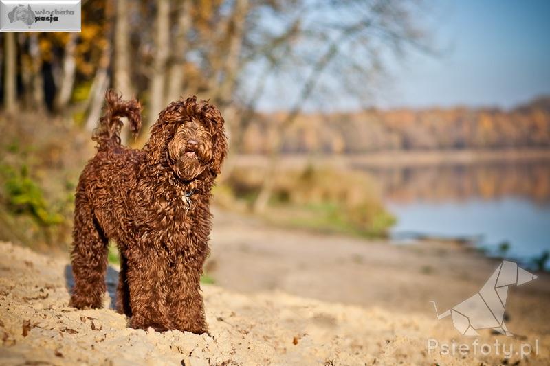 chocolade kleur hondje