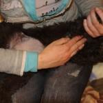 Labradoodle Shantal massage