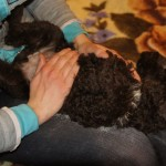 Labradoodle Shantal massage