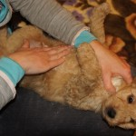 Labradoodle Shantal belly massage