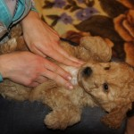 Labradoodle Shantal chest massage