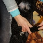 Labradoodle Shantal foot massage