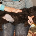 Labradoodle Shantal side massage