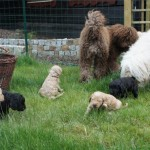 Labradoodle and dogs