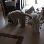 Labradoodle and other dogs