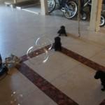 Labradoodle soap bubbles