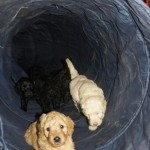 Labradoodle in a tunnel