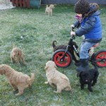 Labradoodle, bicycle