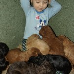 Labradoodle puppies start socialisation