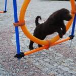 Labradoodle hoop