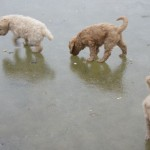 Labradoodle, ice