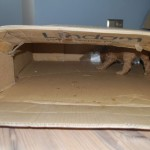 Labradoodle, in the box