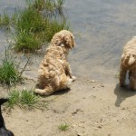 Labradoodle, in the water