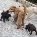 Labradoodle,  other dogs
