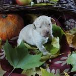 Australian Labradoodle pup