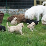 Labradoodle pups and gramma Goldie