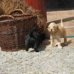 Labradoodle pups playing