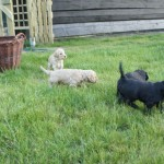 Labradoodle puppies outside